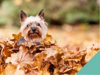 autumn dangers dog in leaves